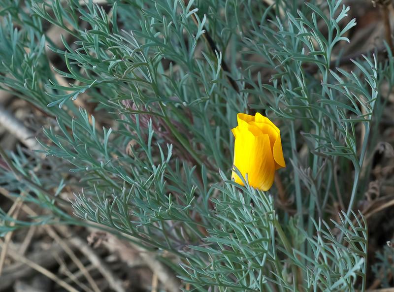 California poppy