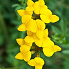 Bird's foot trefoil