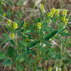 Indian melilot - Sweet clover