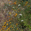 California poppies and Common yarrow