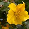 Fremontia or Flannel bush