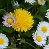 English daisy and Dandelion