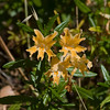Santa Lucia sticky monkeyflower