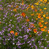 California poppies and Wild Radish