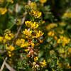 Deerweed   (Lotus scoparius)