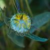 Pacific gum plant