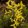 Bee on Mock heather