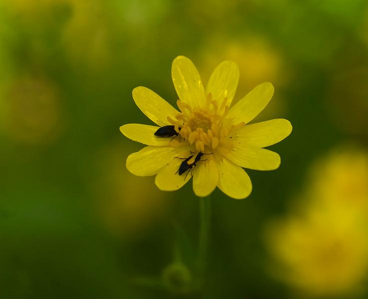 California buttercup
