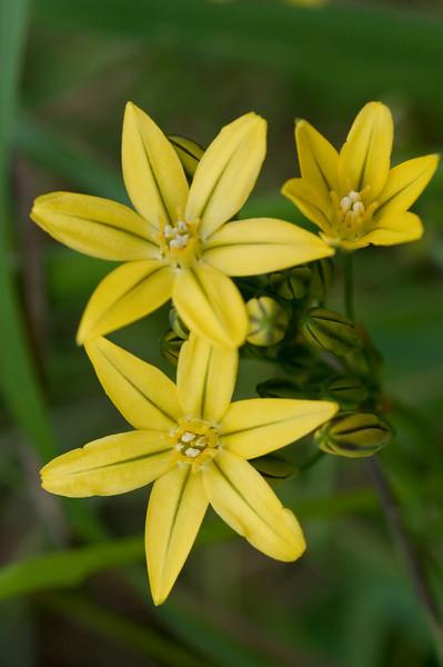 Golden brodiaea