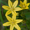 Golden brodiaea or Ptretty face