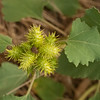 Cocklebur (Xanthium strumarium)