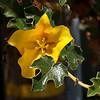 Fremontia - Flannel Bush