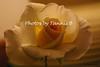 Rose-6432