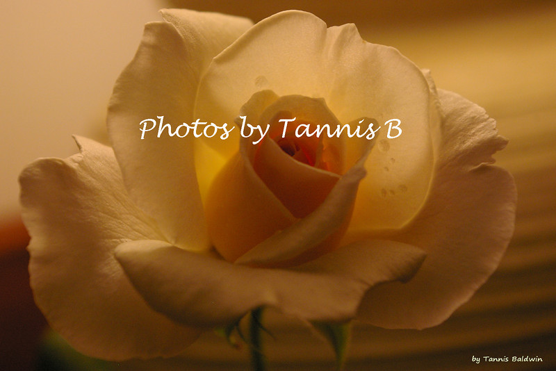 Rose-6434