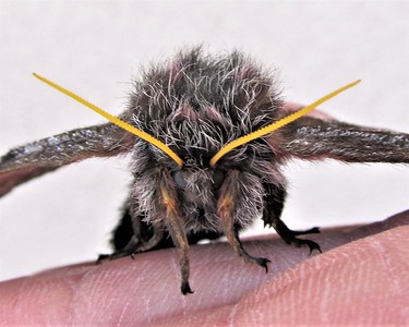 Furry Sphinx Moth Monster
