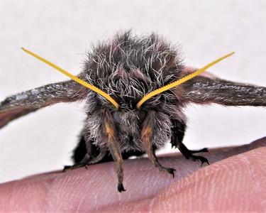 Furry Sphinx Moth Monster