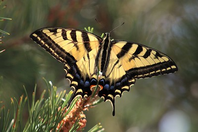 Swallowtail on a pine tree