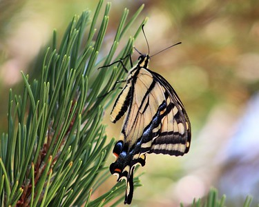 Swallowtail with closed wings on a pine tree