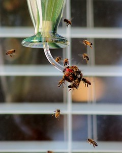 Honeybees drinking from the hummingbird feeder.
