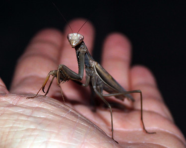 Praying Mantis in Hand