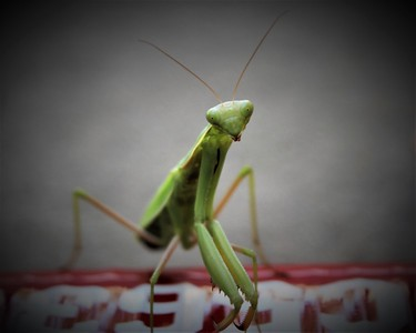 Preying Mantis Posing