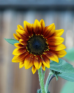 Sunflower Colors