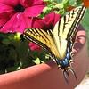 Yellow Swallowtail on Petunia