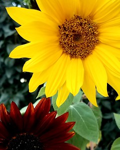Red and yellow sunflower