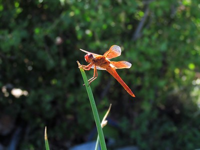 Orange Dragonfly in the sun