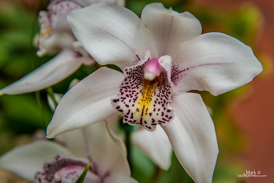 Orchid-11