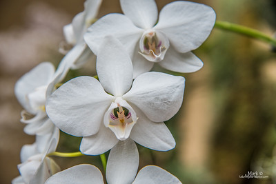 Orchid-8