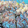 Pink Princess - Flowering Tree in Spring