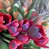 Soft Reds of Spring - Tulips