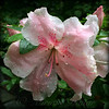 Delicate Pinks in Rain - Flower Photography