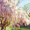 Spring Is In The Air - Flowering Tree
