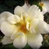 Old-fashioned Yellow Popcorn Rose