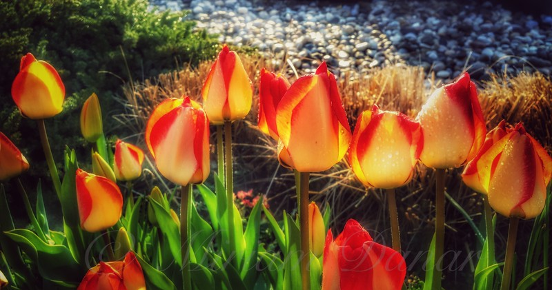 The Fiery Glow of Summer - Tulips After the Rain