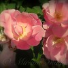 Flower Photography - Old-Fashioned Heirloom Rose - Honey Peach
