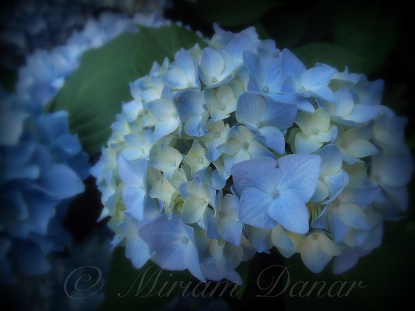 Creamy Blue Dream - Hydrangea - Flower Photography