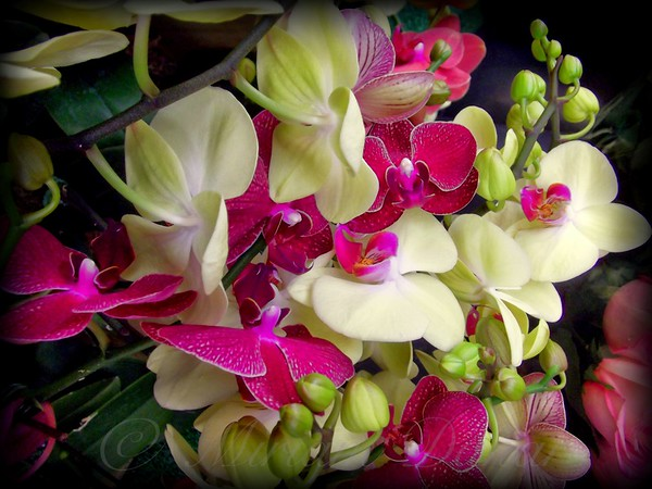 Orchid Jumble - Flower Photography