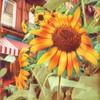 Sunflower in New York - Summer Beauty