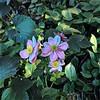 Purple Fairlyland Blossom
