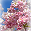 Apple Blossom Special