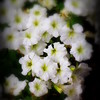 White Petunia Dream, Central Park - Flower Photography