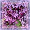 Spring Fantasy - Lilac Purple
