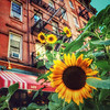 Summer in the City - Sunflowers