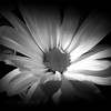 Night Flower - Daisy