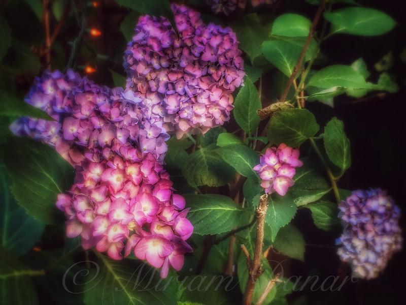 Peace Garden - Purple Hydrangeas