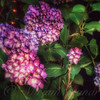 Peace Garden - Purple Hydrangeas