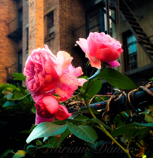 There is a Rose in Spanish Harlem